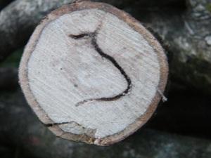 Oak pinhole
